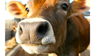 Jersey Cow sniffing at a camera in the sun