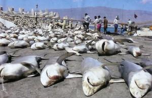 shark-finning