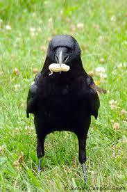 aaa crows