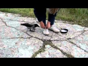 aaa crow tying shoes