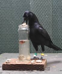 aaa crow with water pitcher
